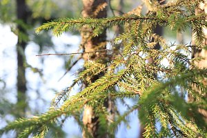 Pine branches tree landscape