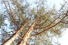 Two pine branches tree landscape