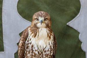 a Booted eagle