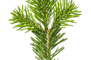 Christmas tree pine branches isolate