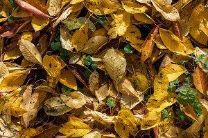 Yellow Autumn Cherry Leaves