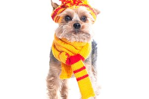 Dog in a knitted cap and scarf
