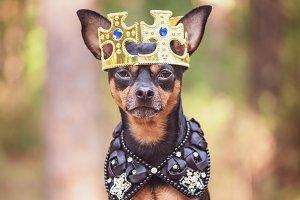 Dog in the crown, in royal clothes