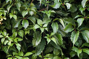 Texture of bindweed. A wall of green