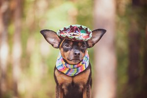 Mexican dog in sombrero and bandage