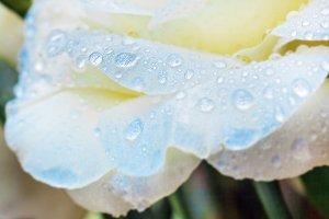 Water drops on blue flower petals