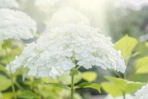 Lush white hydrangea