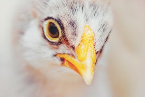 Baby Chicken Closeup