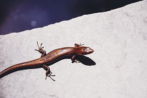 Lizard Enjoying Sun