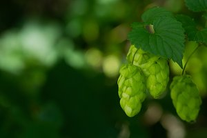 Flowering green hops closeup, nature