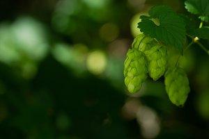 Flowering green hops closeup, nature