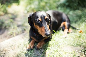 Dachshund, pure bred miniature dog,