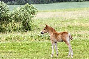 horse's foal