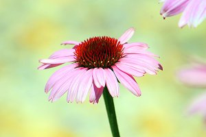 Light Pink Coneflower