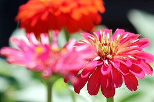 Colorful Summer Dahlia Flowers