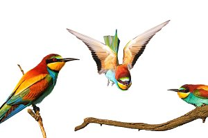 Exotic colored bee-eaters birds
