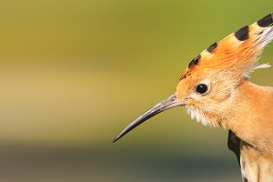 hoopoe bird with a long beak bangs