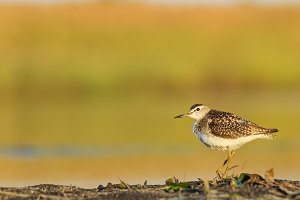 lonely sandpiper on looking at the