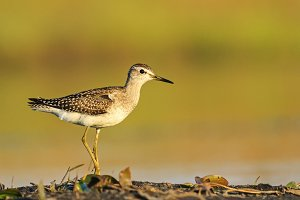 sandpiper standing on one leg