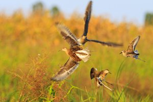 sandpipers flying in different