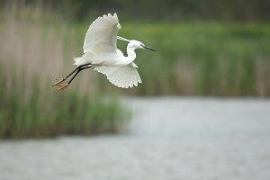 Little egret, Egretta garzetta, sing