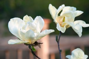 White Magnolia Bloomings