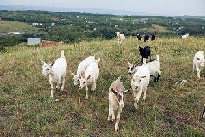 little goats walk in the meadow on