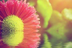 Pink daisy flower in water
