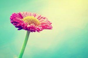 Fresh daisy flower. Vintage