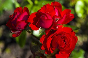 A bright red blossoming roses