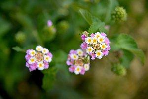 Lantana flowers at garden