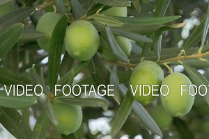 Green olives in Mediterranean garden