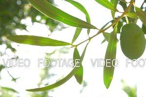 Olive tree branch against sunshine