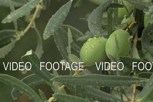 Wet branch of olive tree with