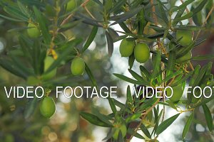 Branch of green olive tree in the