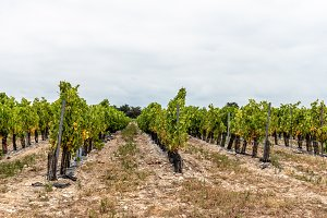 Sauvignon blanc vineyard against