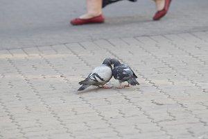 Grey pigeons kissing on the asphalt