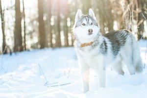 Husky  dog  stands  on the snow