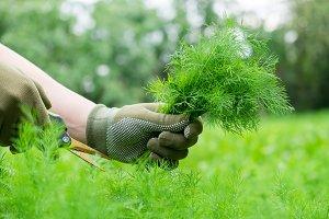 Gardener hands cutting dill sprigs.
