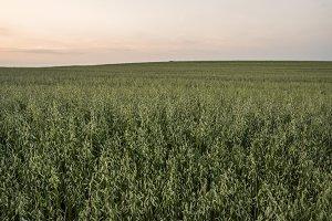 Green oat ears of wheat growing in