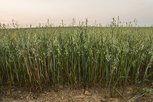 Green oat ears of wheat grow from