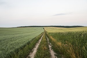 Young green wheat and oats crops on