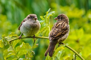 Two sparrows sit on a branch and