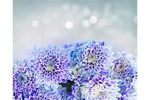 blue chrysanthemum flowers