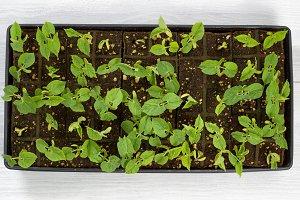 Green Bean Starter Plants