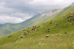 flock of sheep grazing in the