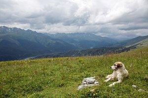 big shepherd dog lying in the