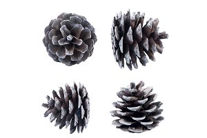Pine cone isolated.