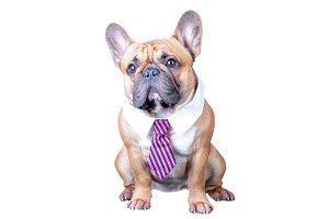A dog, a french bulldog in a tie