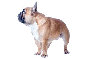 Dog, beautiful French Bulldog